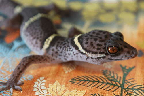 Hainan Cave Gecko Quick Facts