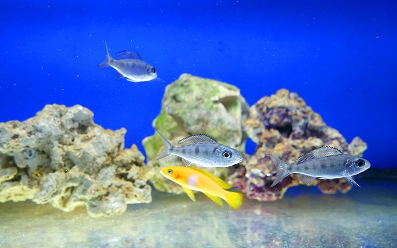 How to Feed Malawi Cichlids