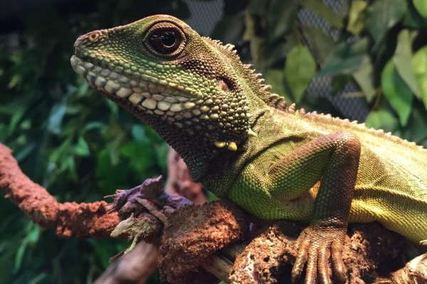 Guide To Caring For Water Dragons