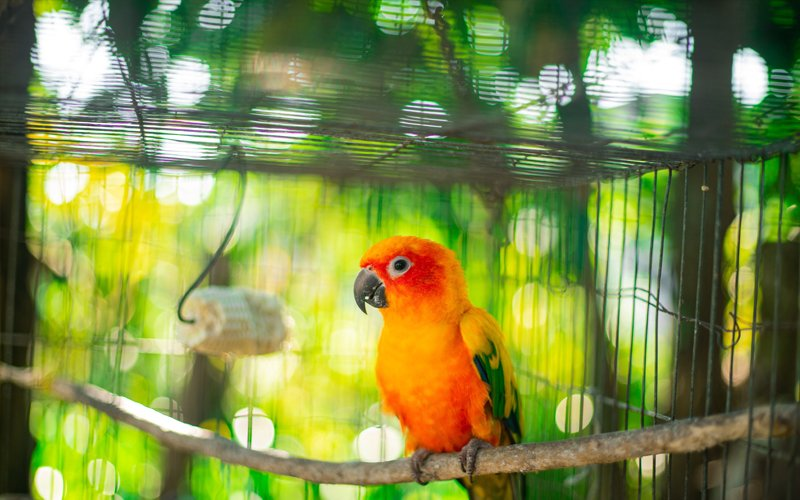 Pet Parrots – Hand Rearing VS Parent Raised Birds