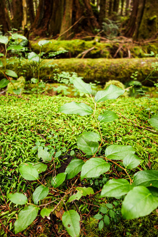 Forest floor on the Olympic Peninsula