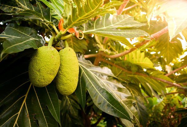 Breadfruits Growing on the Tree