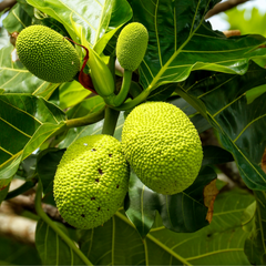 Breadfruit Flower Key Ingredient Image