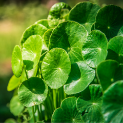 Gotu Kola Key Ingredient Image