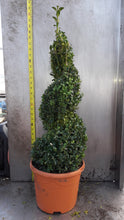 Load image into Gallery viewer, Buxus 	(Various shapes and sizes available)