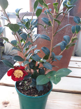 Load image into Gallery viewer, Camellia sasanqua Yuletide