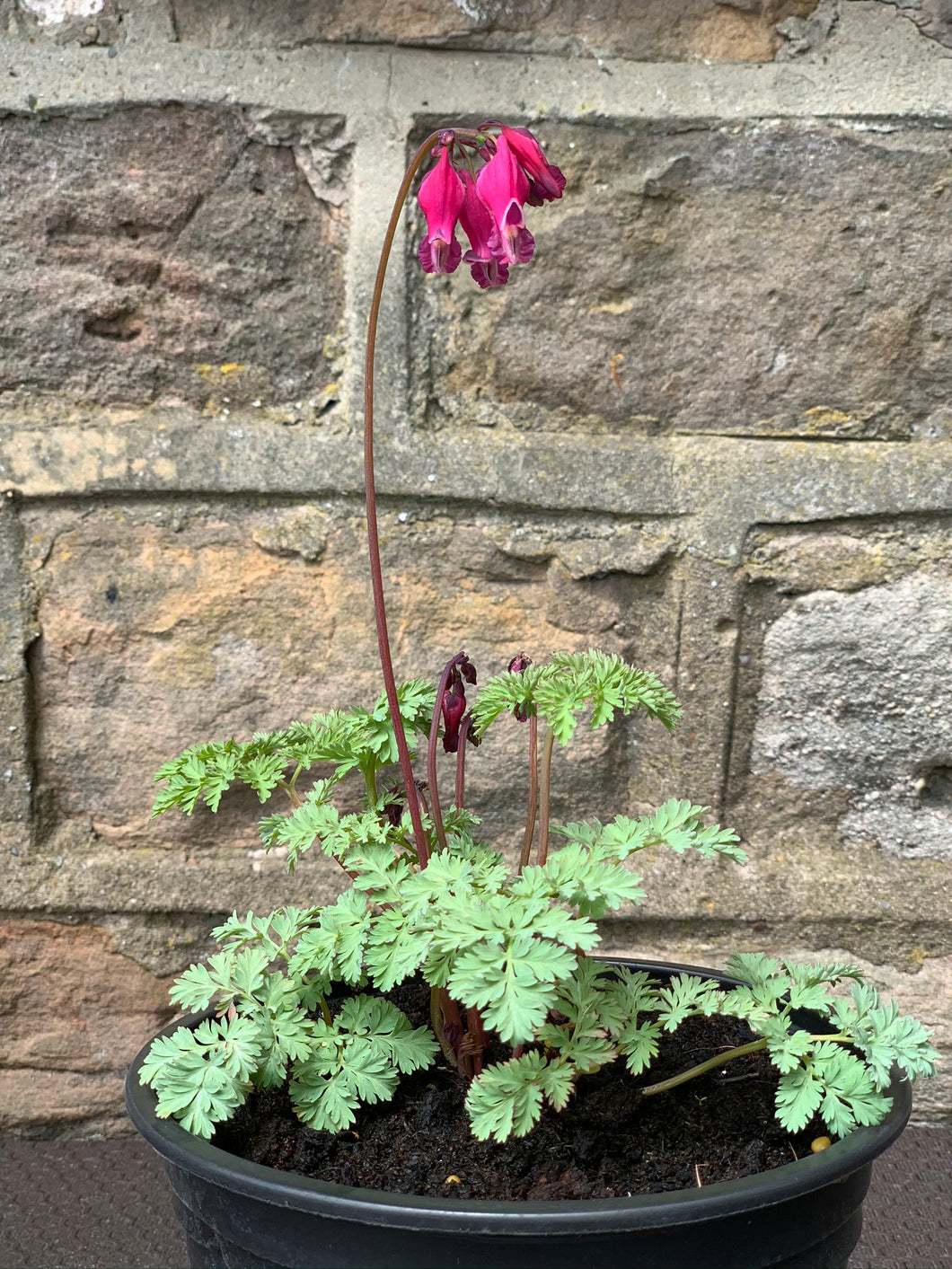 Dicentra - King of Hearts