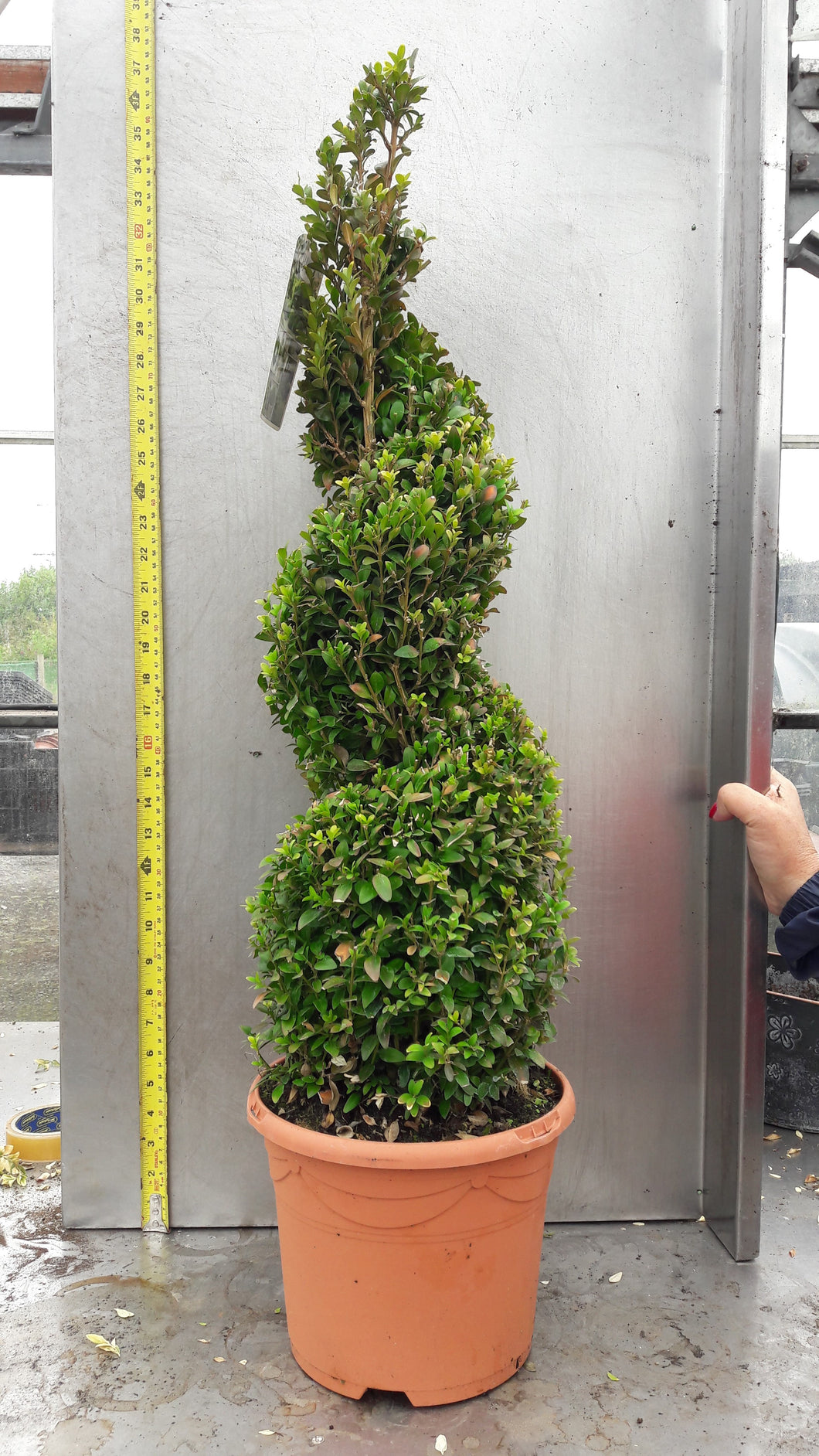 Buxus 	(Various shapes and sizes available)