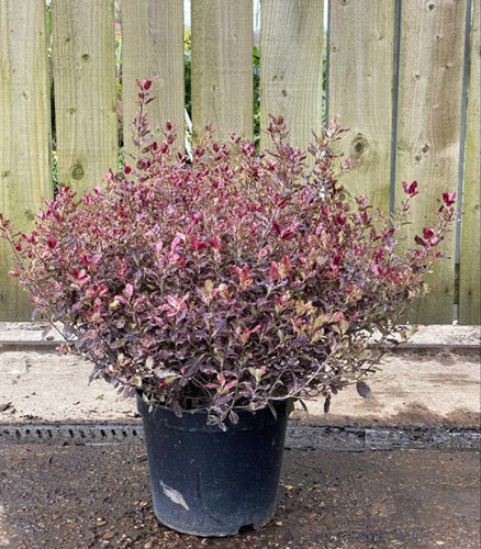 Pittosporum Tenuifolium (Tom Thumb)