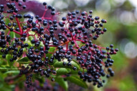 Elderberry Syrup with Echinacea option
