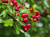 Hawthorn Berry Tincture