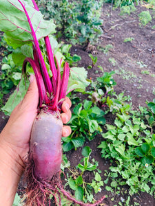 Bulls Blood Beetroot Seed
