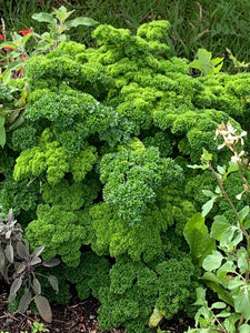 Curly Parsley Seed