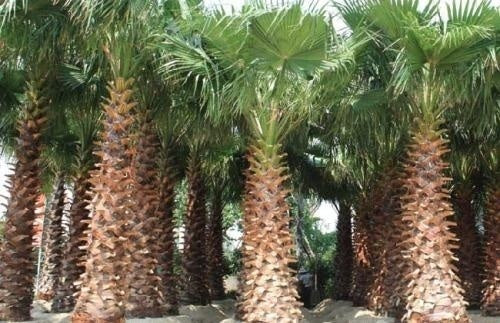 10 Pcs Chinese Palm Tree Seeds Green Perennial Evergreen Bonsai Fast Growing Decor DIY For The Garden And The Yard