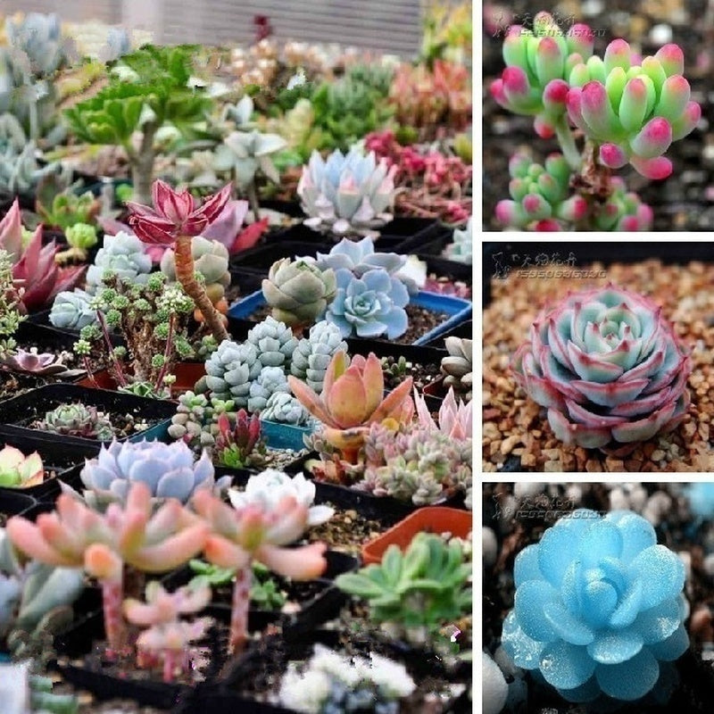 100 PCs / bag mixed color stone caltrop seeds rare succulent seed donkey seed flower living stone bonsai mini garden factory