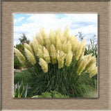 New Rare Impressive Purple Pampas Grass bonsais home garden Plants Flowers Ornamental  bonsais Cortaderia Selloana 200seeds/pack
