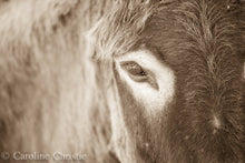 "Load image into Gallery viewer, ""Eye on you"" Wild Burro Photograph."