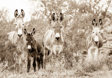 "Load image into Gallery viewer, ""Board of directors"" Wild Burro Photograph."