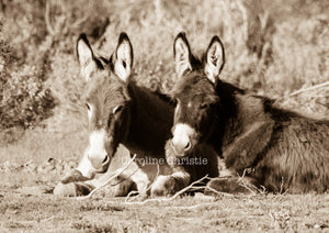 """Burro Chill Time""Wild Burro Photograph."