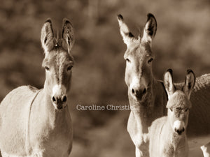 """Just the three of us."" Wild Burro Photograph."