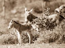 "Load image into Gallery viewer, ""I hear you, but I'm not listening""Wild Burro Photograph."