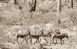 """On the move"" Wild Burro Photograph."