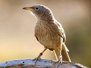 Why Help? The Story of the Babblers
