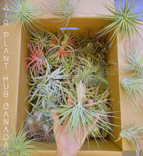 Load image into Gallery viewer, X Large Capitata Peach Giant 8 inch + Tillandsia Air Plant