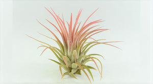 "Ionantha Rubra Tillandsia Air Plant Medium (2""+)"