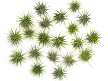 "Load image into Gallery viewer, Ionantha Guatemala Tillandsia Air Plant (Large 2.5-2.9"")"
