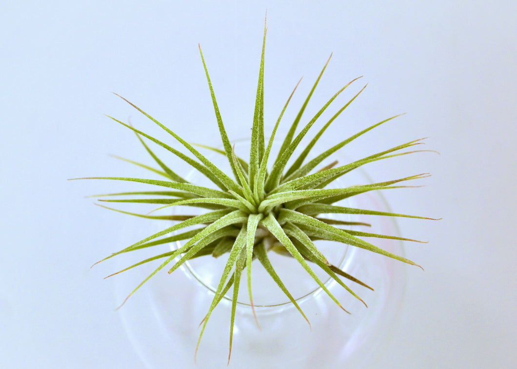 Ionantha Guatemala Tillandsia Air Plant (Medium 2