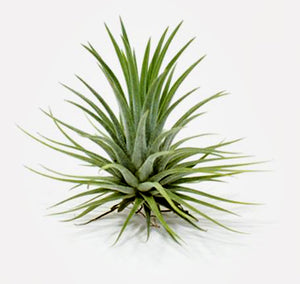"Ionantha Guatemala Tillandsia Air Plant (Medium 2"")"