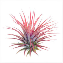 "Load image into Gallery viewer, Ionantha Rubra Tillandsia Air Plant (Large 2.5-2.9"")"