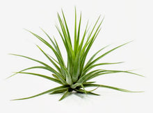 "Load image into Gallery viewer, Tillandsia kolbii/scaposa Tillandsia Air Plant (3-4"")"