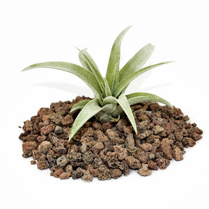 "Capitata Peach Tillandsia Air Plant (3-8"")"
