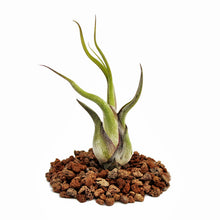 "Load image into Gallery viewer, Caput Medusae Tillandsia Air Plant (3.7-5.5""+)"