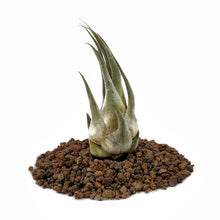 "Load image into Gallery viewer, Seleriana Tillandsia Air Plant (4""+)"