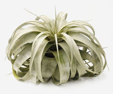 "Load image into Gallery viewer, Xerographica Tillandsia Air Plants (4-8"")"