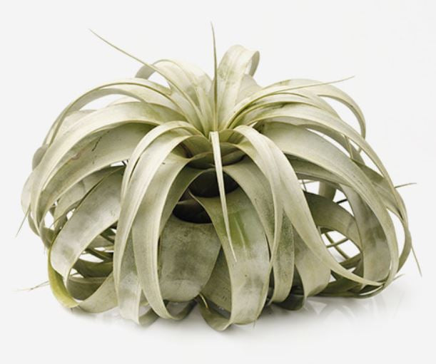 Xerographica Tillandsia Air Plants (4-8