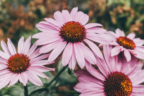 Echinacea natural infection cure