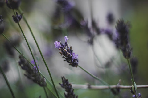 natural remedy lavender tincture