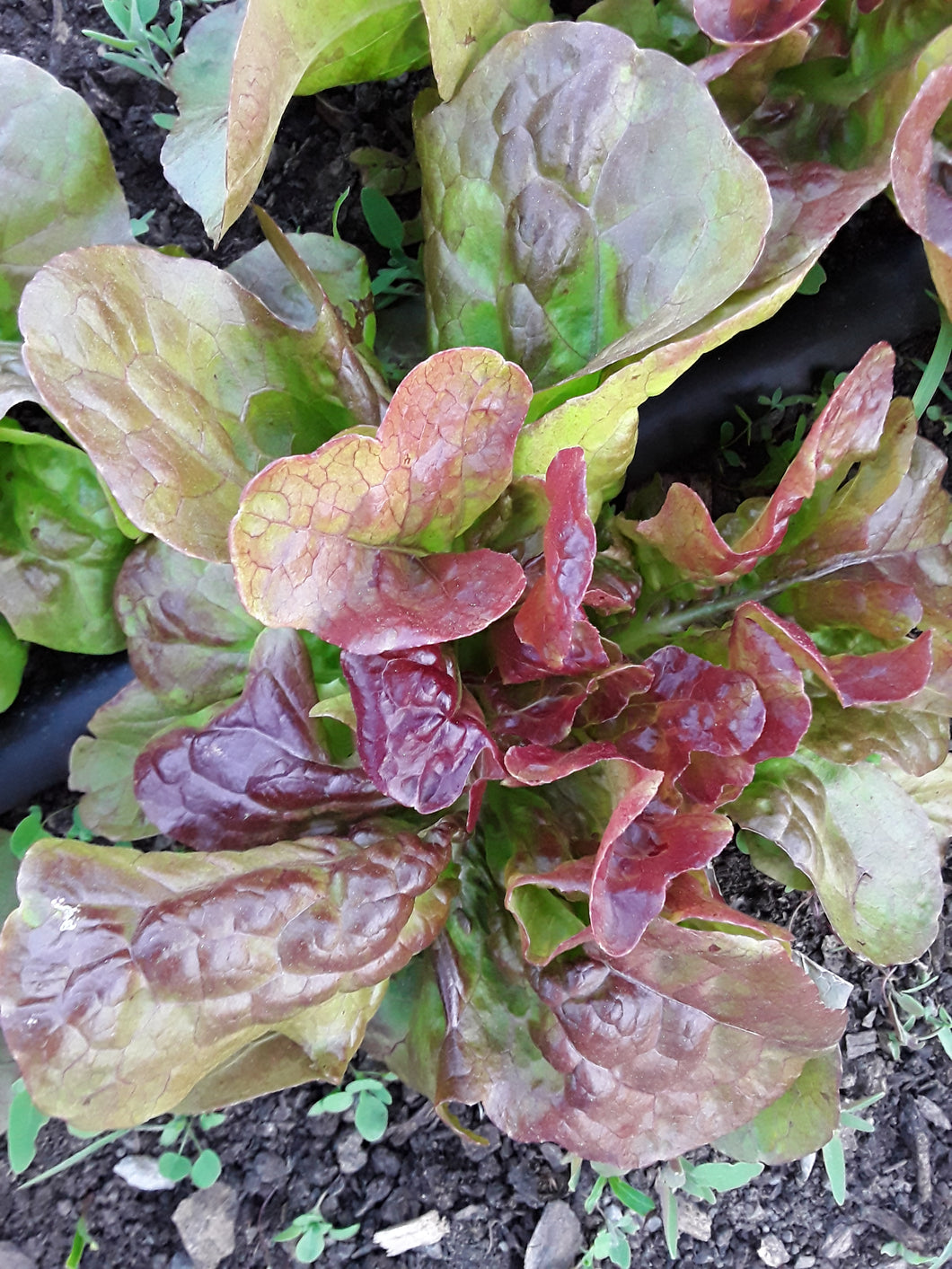 Lettuce: Blushed Butter Oak - seeds