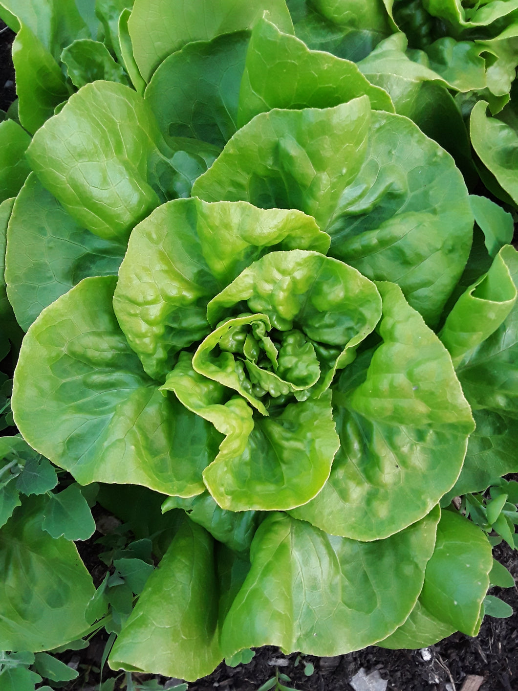 Lettuce: Buttercrunch - seeds