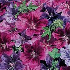 Malva: Mystic Merlin - seeds