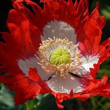 Poppy: Danish Flag - seeds