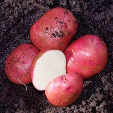 Potatoes: Red Chieftan - seed potatoes