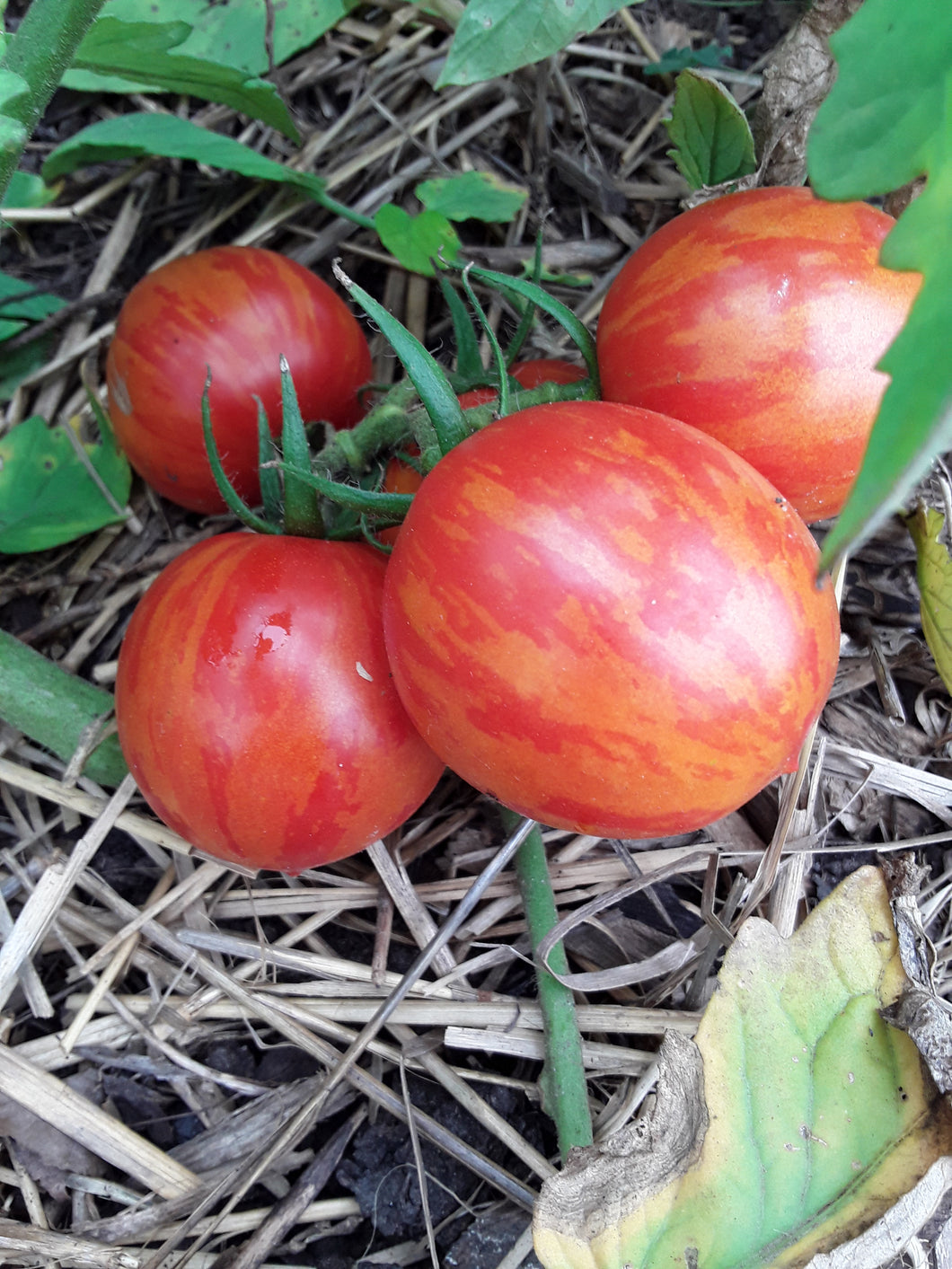 Tomato: Red Zebra - seeds