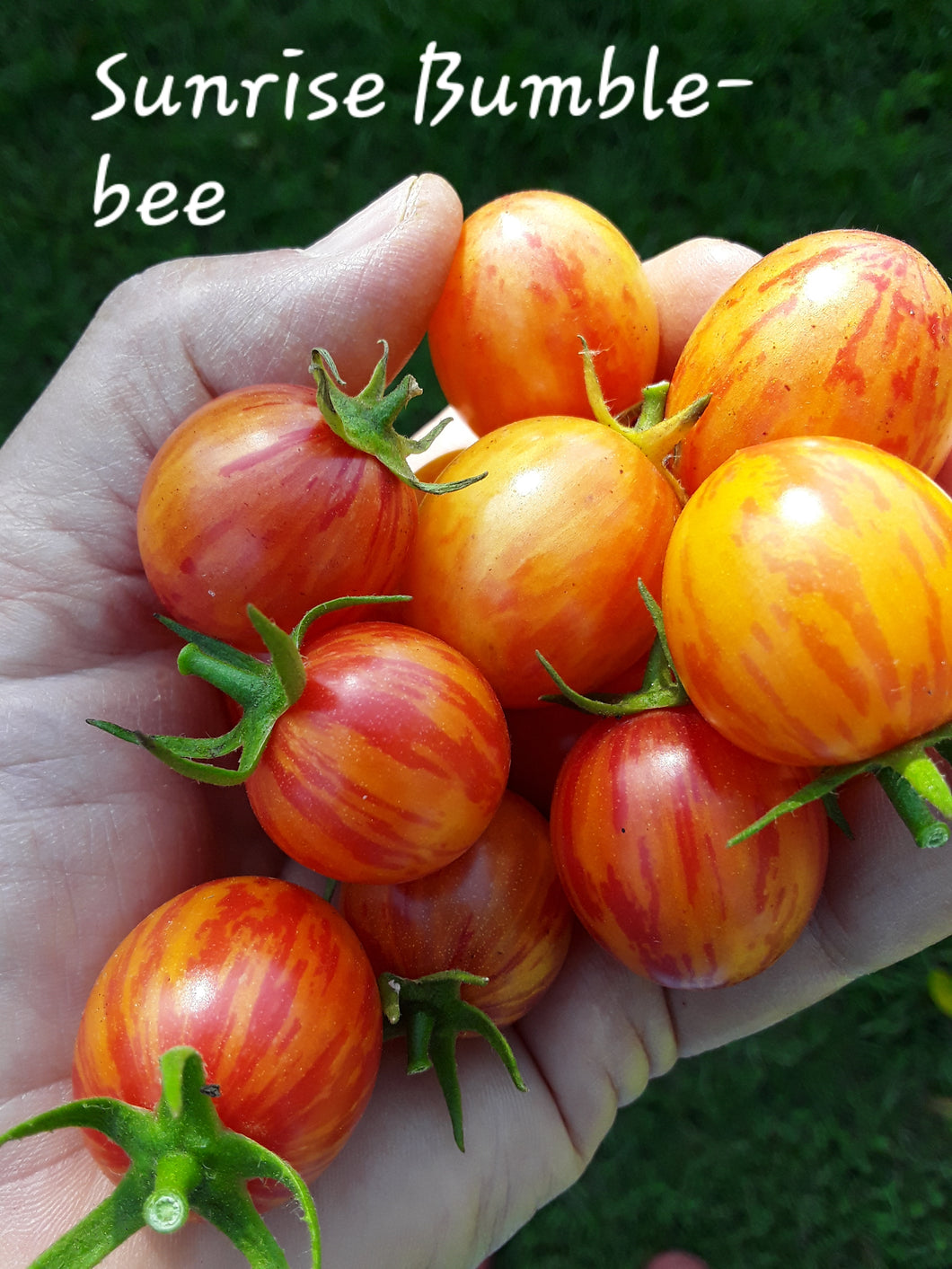 Tomato: Sunrise Bumblebee - seeds