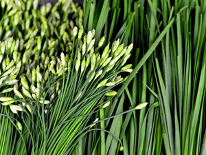 Chives: Garlic - seeds