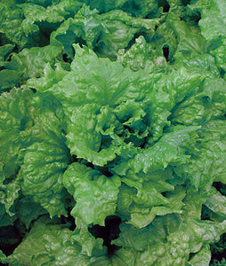 Lettuce: Black-Seeded Simpson - seeds